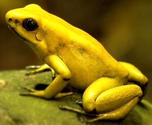 Gele kikker giftig